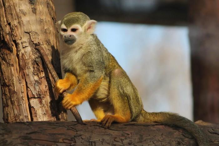 Зеленая обезьянка
