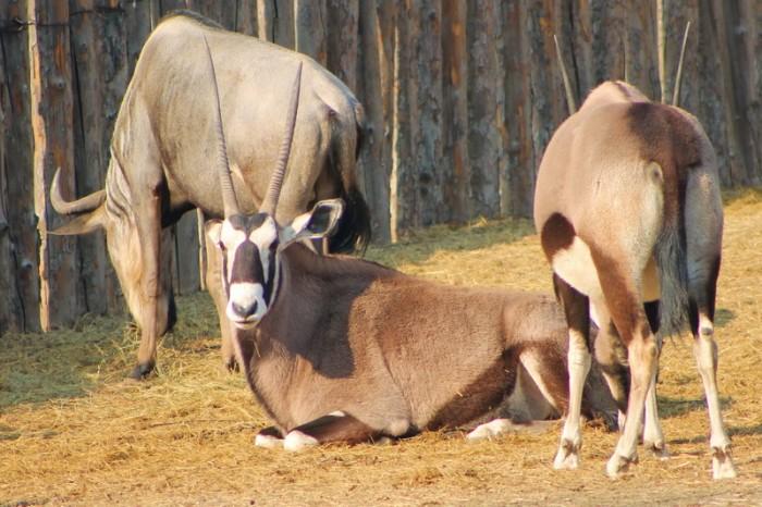 рогатые в пекинском зоопарке