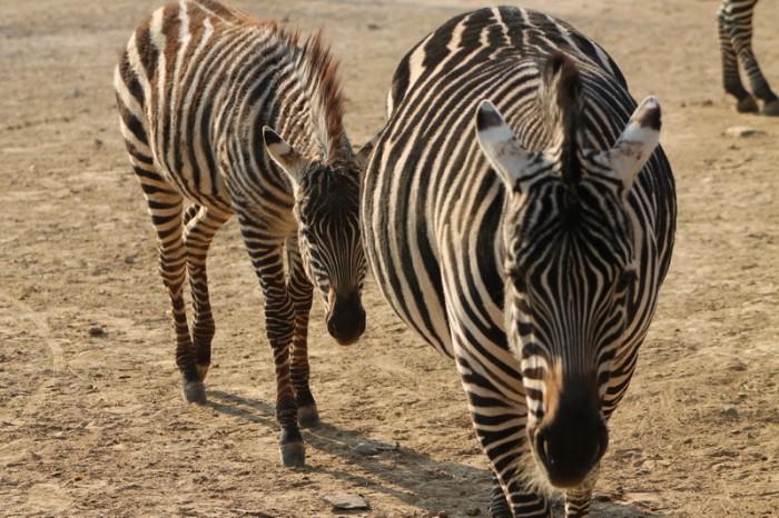 зебры  в Пекинском зоопарке
