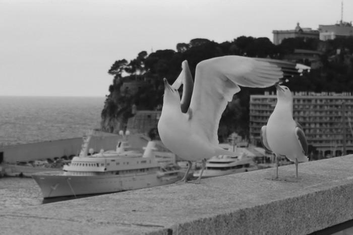 чайка в Монако