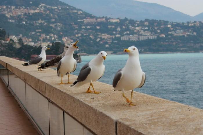 чайки в Монако