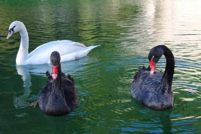 Лебеди в Ниме