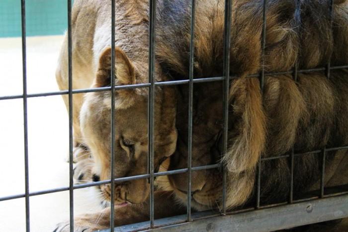Лев и львица в Берлине