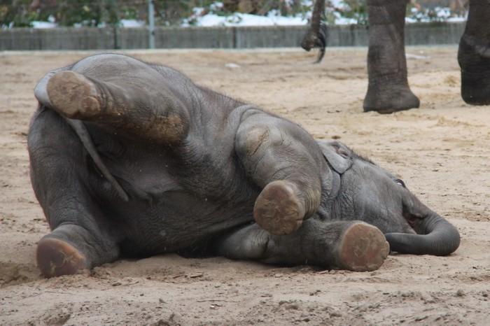 слоненок в Берлине