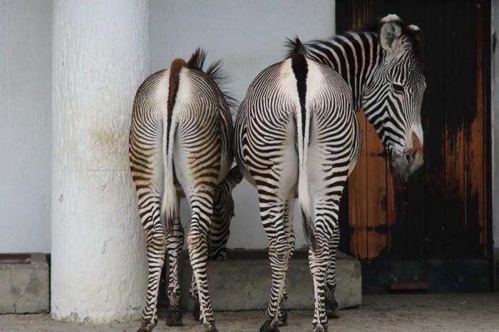 Зебры в Берлине