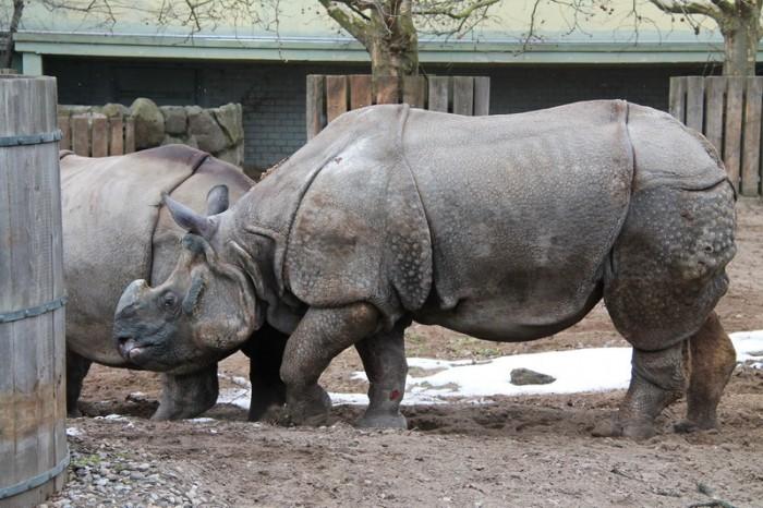 Носорог в Берлине