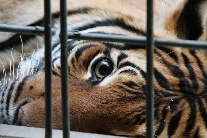 Тигр в Берлине