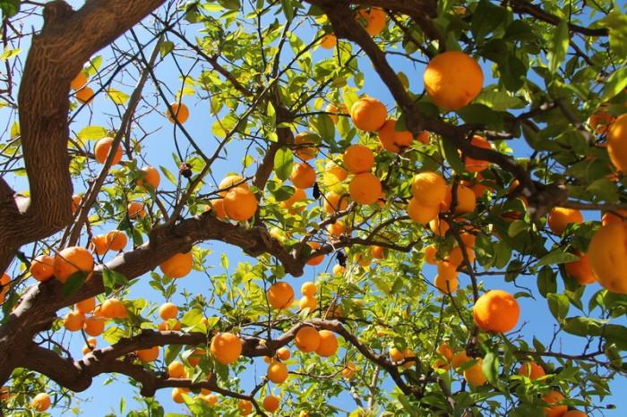 Ботанический сад в Палермо. Мандарины